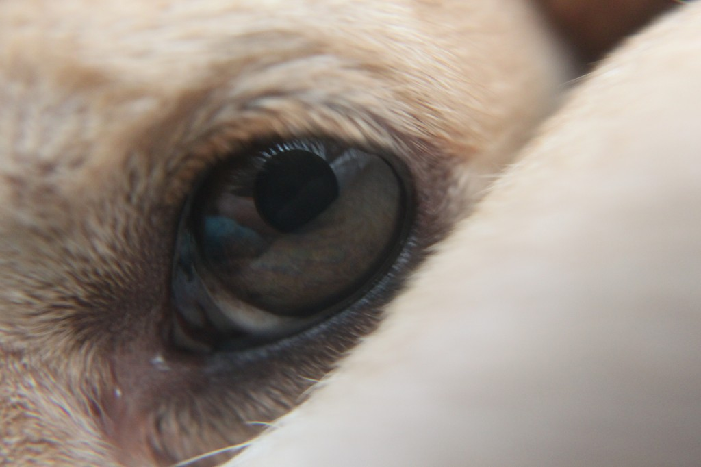 close up of Kona's eye
