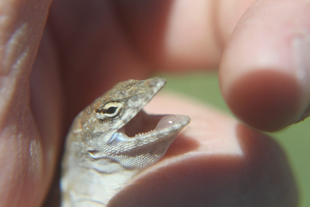 brown anole bares teeth